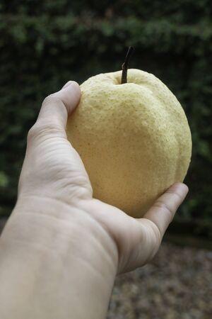 Single fresh asian whole pear, stock photo Standard-Bild