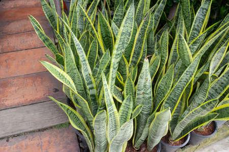 Pretty sprinkled varigated garden plant, stock photo