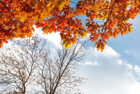 peace plan: Autumn leaves on tree with the blue sky background