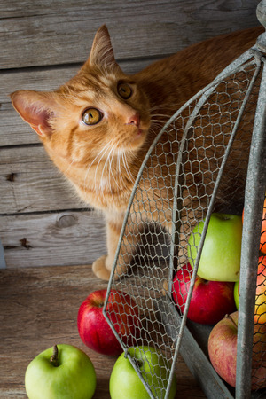 ginger cat and apples in vintage birdcages photo