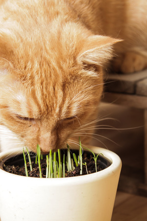 catnip: Cat eating grass Stock Photo
