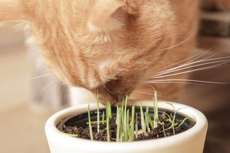 cat eating: Cat eating grass Stock Photo