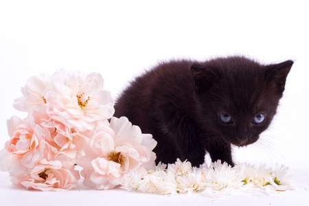 Cute black kitten with rose isolated white background photo