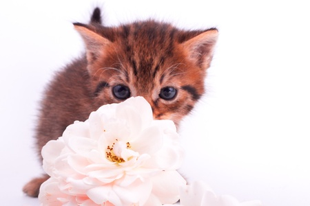 Cute  kitten with rose romantic background photo