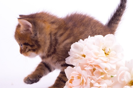 Cute  kitten with rose isolated white background photo