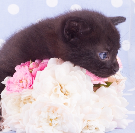 Cute black kitten blue backround with  flower photo