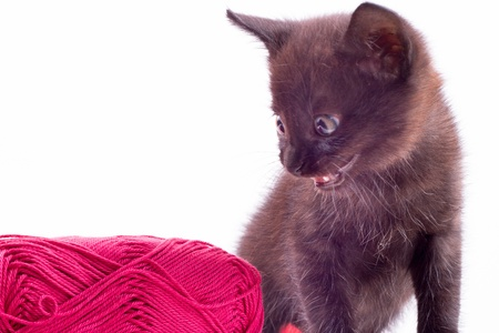 true bred: beautiful little kitten with red clew, on white background , isolated Stock Photo