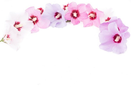 Hibiscus Flowers in white background Stock Photo - 21176404