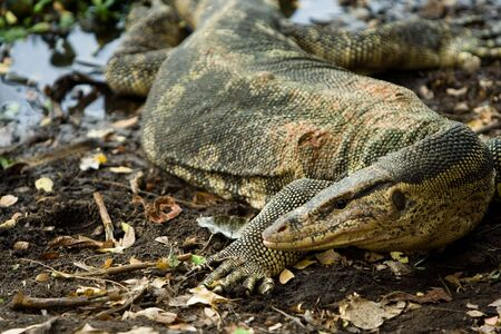 flicking: Image of a type of water monitor lizard.