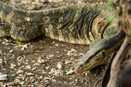 Image of a type of water monitor lizard. photo