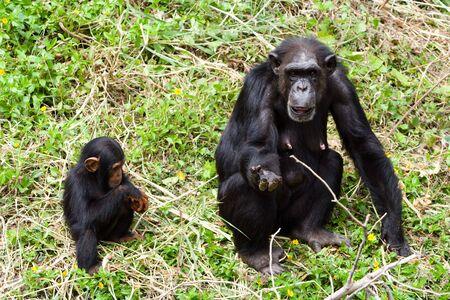 chimpances: Los chimpanc�s se mendicidad algunos piensos.