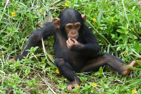 chimpances: Imagen de un joven chimpancé  Foto de archivo