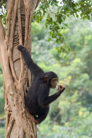simian: A chimpanzee is climbing on a tree.