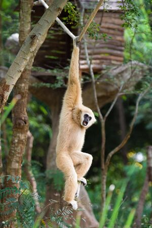 imp: Image of gibbon hanging on a rope.