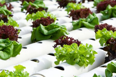 planted: Hydroponic vegetable is planted in a garden.
