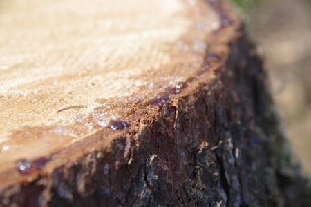 sap overflowing from the stump Stock Photo