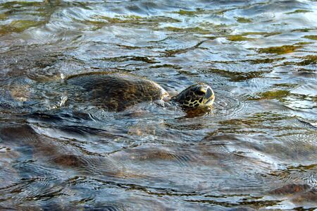 Hawaiian green sea turtle surfaces for air while feeding off the shores of the Big Island of Hawaii  photo
