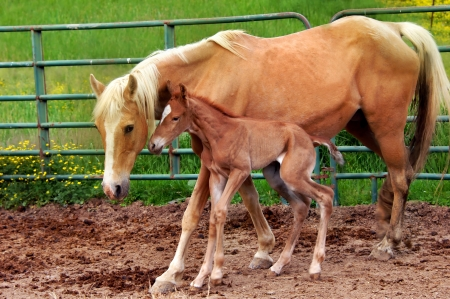 Mother pushes newborn walking horse to stand and walk   She teaches colt to stay close and closely watches over her baby  photo