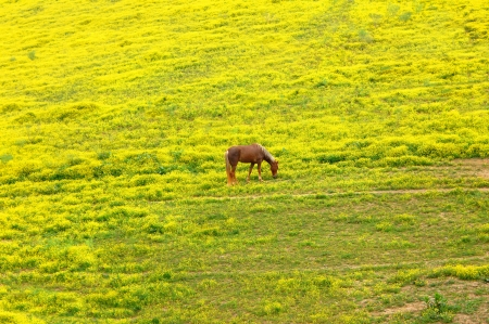 full blooded: Full blooded, walking horse crops the new spring grass in a field of bright yellow flowers