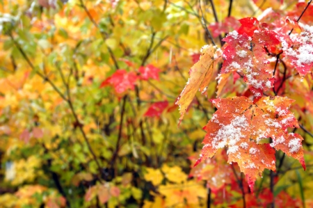 michigan snow: Snow flakes cling to red and yellow leaf in Upper Penninsula, Michigan, signalling the beginning of Winter.