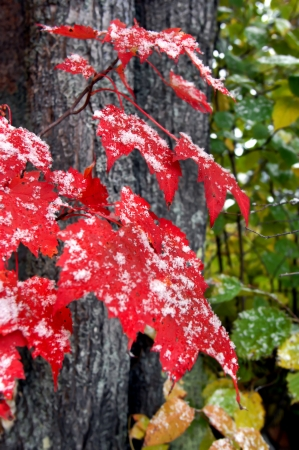 michigan snow: Red Maple leaves catch the first snowfall in the Upper Peninsula Michigan.  Cluster stands out against the dark bark of two trees. Stock Photo