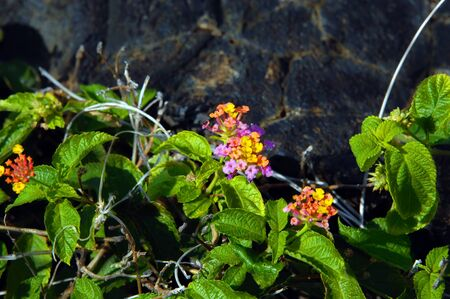 sturdy: Sturdy, tough and blooming this Lantana flowers besides black lava rock found in Hawaii Volcanoes National Park on the Big Island of Hawaii. Stock Photo