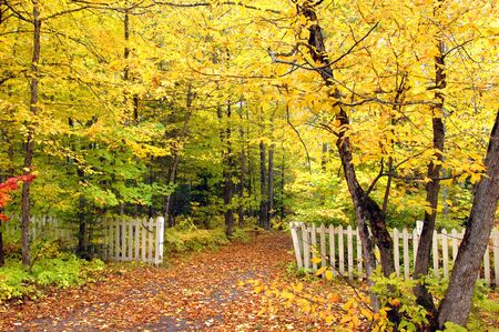 Golden tunnel of yellow leaves overhang white picket fence and narrow lane.  Leaves lay scattered across its surface. photo