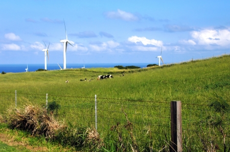 Wind mill farm has been successfully incorporated with livestock farming on the Big Island of Hawaii   Cows graze in lush green grass with wind harnessed in background  photo