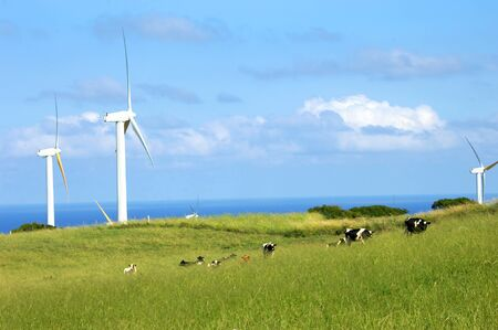 harnessing: Line of dairy cattle climb a vivid green hill on the Big Island of Hawaii.  Wind turbines turn slowly in the trade winds, harnessing energy for the farm and America.