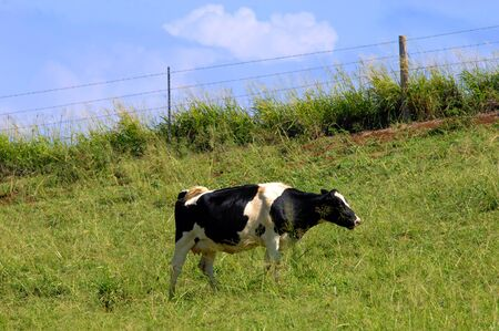 Lone cow munches on the deep green grass on a hill on the Big Island of Hawaii.   Stock Photo - 14832370