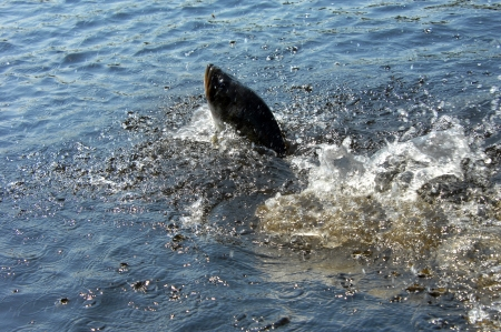 Bass fights to the finish before succombing to exhaustion.  Lake waters boil with his repeated efforts to get free. photo