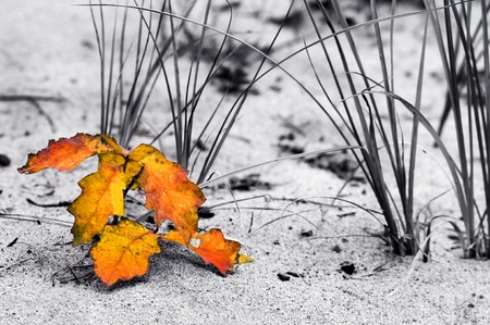 A yellow red leaf leans against the grass on a sand dune of Lake Superior, Michigan  Image is black and white with only the red of the leaf showing photo