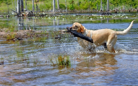 retrieves: Blond labrador retriever fetches large stick owner threw into Lake Cooty.  Water drips and splashes as dog retrieves. Stock Photo