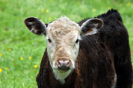 nagging: Small black and brown calf with white face is surrounded by buzzing flies.  To escape them the calf has folled in the dirt to try to ward off their nagging prescence. Stock Photo
