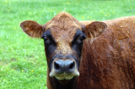 Comical cow has residue from his grazing in the meadow all over his nose.  His face has a mask on it and adds to the comical appearance.