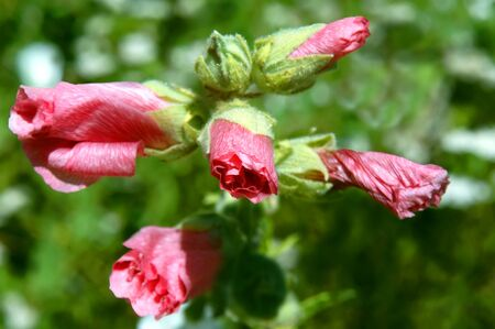 unopen: Vivid pink hibiscus buds begin to open in the warm spring sunshine. Stock Photo