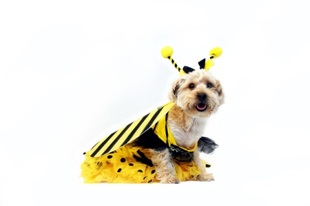 Silkypoo wears a bumble bee costume for a costume contest.  His costume comes complete with wings and head band, antennes.
