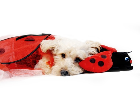 Silkypoo lays besides his favorite toy, a stuffed ladybug.  Silkypoo is also wearing a ladybug costume. photo