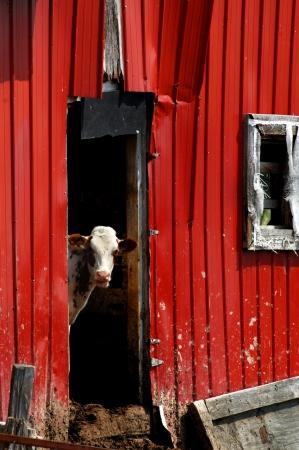 red heifer: Becerro joven se encuentra en la puerta de un granero r�stico resto. Tiene la boca abierta como si estuviera hablando y apenas los hombros y la cabeza sobresalen desde la puerta del granero. Foto de archivo
