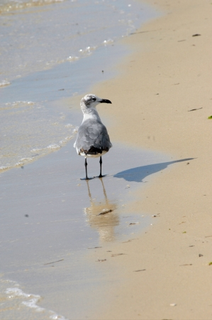 Lone seagull scowers the beach for scraps left by beach goers.  His reflection shows in the gently ebbing waters. photo