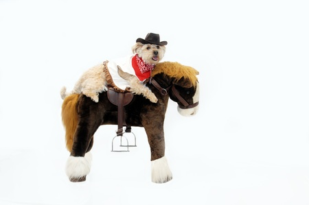 bandana western: Silkypoo dog rides astride a stuffed pony.  She is dressed in western wear complete with red bandana and cowboy hat. Stock Photo