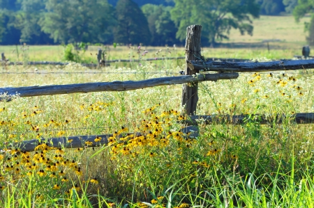 Rustic fence posts are overgrown with blooming wildflowers in yellow and white.  Black eyed susans grow profusely around country fence.