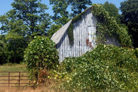 Ivy covers abandoned, white, wooden barn near Lynchburg, Virginia.  Rust iron gate closes off field next to barn.