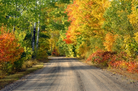 One lane dirt road disappears into  the distance on this tree lined logging road in the upper penninsula of Michigan.  Brilliant yellow and orange trees at peak color fill the fall woods with brilliant color.