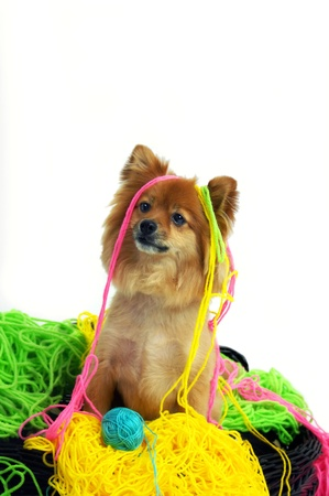 mess: Caught in the deed, this Pomeranian is draped in colorful yarn.  His tangled mess forms a soft nest for him to sit in. Stock Photo
