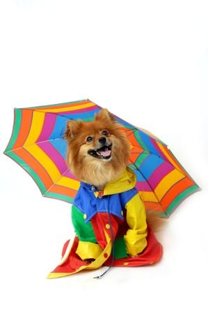 Pomeranian wears a  photo