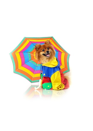 Adorable Pomeranian takes his umbrella in case of increment weather.  He is wearing a multi-colored raincoat and sitting in an all white room. photo