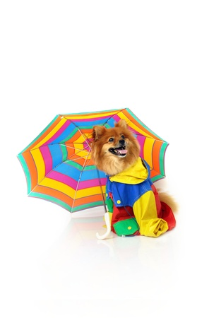 Pomeranian wears a brightly colored raincoat and sits beneath a striped umbrella.  His mouth is open and he is resting in an all white room. photo