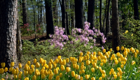 Yellow tulips and pink azaleas bloom under spring sunshine in Garvin Garden in Hot Springs, Arkansas  photo