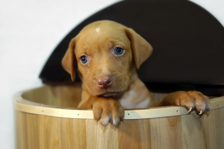 whining: Golden Labrador Retriever puppy stands in wooden crate and begs with his deep blue eyes   A tiny tear sits in his left eye                                  Stock Photo